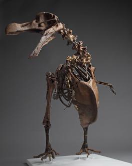 Dodo du Musée cantonal de géologie de Lausanne Le squelette du dodo restauré et monté S. Ansermet Musée cantonal de géologie, Lausanne