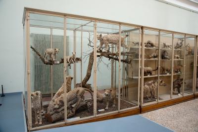 Exposition permanente Vitrine des félins M. Krafft MZL