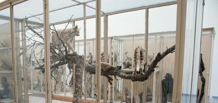 Musée de zoologie Vitrine des félins, aile nord M. Krafft MZL