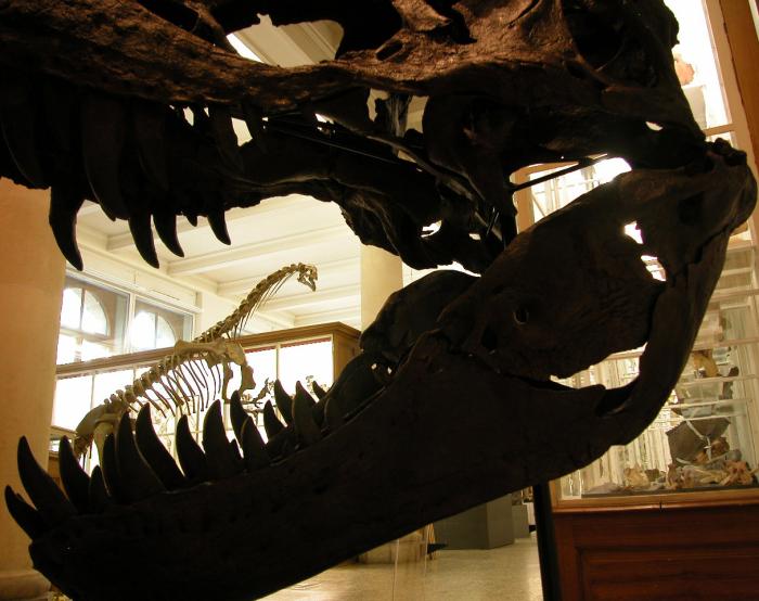 Tyrannosaurus rex et Plateosaurus engelhardti Parmi de magnifiques minéraux et fossiles, deux moulages de dinosaures, un tyrannosaure américain et un platéosaure suisse, vous attendent dans les salles du Musée de géologie au Palais de Rumine Photo Stefan Ansermet Musée cantonal de géologie, Lausanne