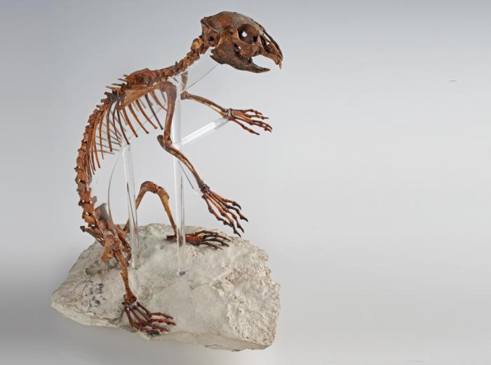 Prolagus sardus L'espèce exposée dans la salle de paléontologie, Prolagus sardus, provient comme son nom l'indique de Sardaigne. Il s'agit d'un genre de mammifère aujourd'hui disparu, très proche du pika actuel, aussi appelé lièvre siffleur. Stefan Ansermet © Musée cantonal de géologie