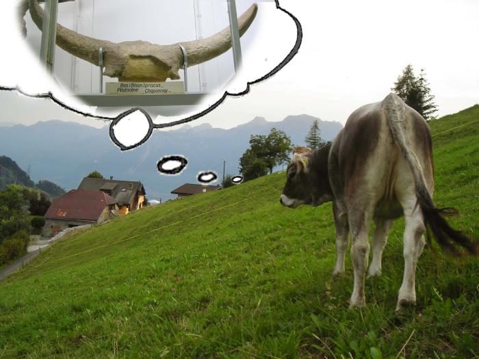 Bos priscus + taurus L'aurochs en vacances Manuel Riond © Musée cantonal de géologie